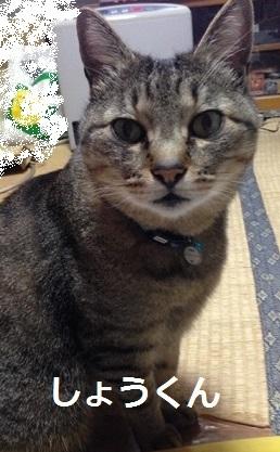 しょうくん キジトラ猫