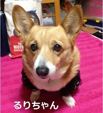 るりちゃん コーギー