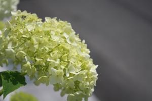 盛紫陽花5