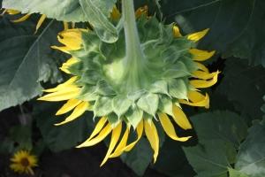 満濃の向日葵3