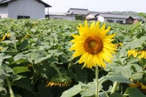 満濃の向日葵4