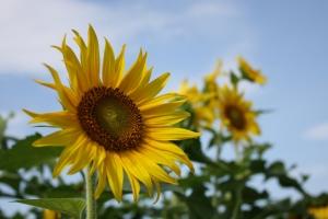 満濃の向日葵5