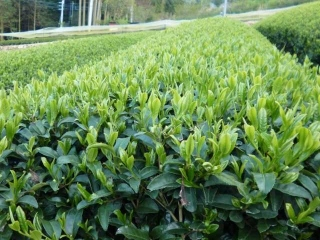 170430星野茶畑 (320x240)