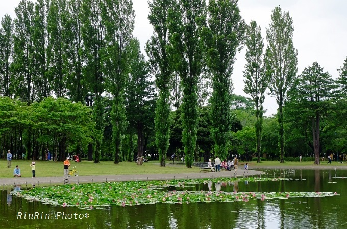 彩の森入間公園睡蓮池