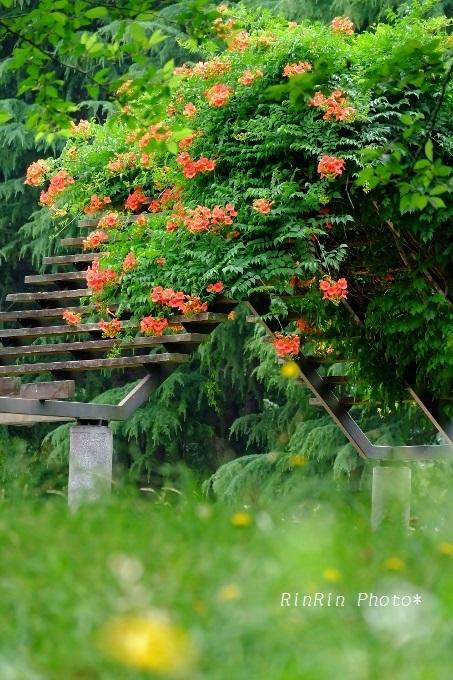 彩の森ノウゼンカズラ