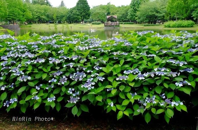 彩の森入間公園額紫陽花
