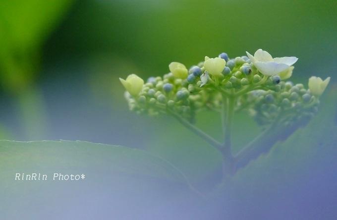 彩の森入間公園ボケ紫陽花