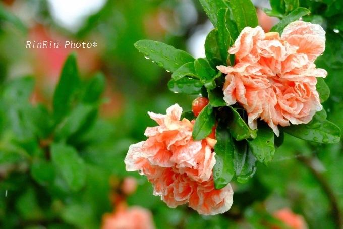 観音寺ざくろの花