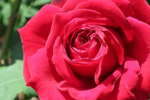 roze-2