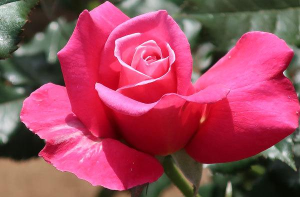 roze-3