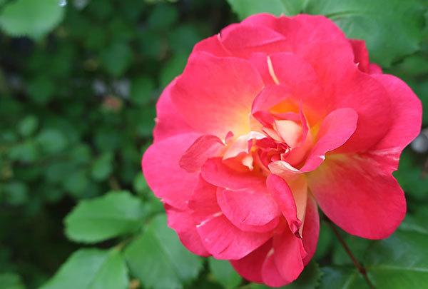 roze-4