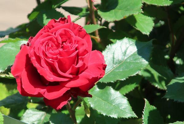 roze-5