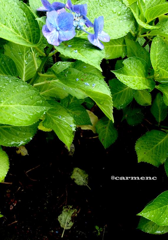 紫陽花と枯葉