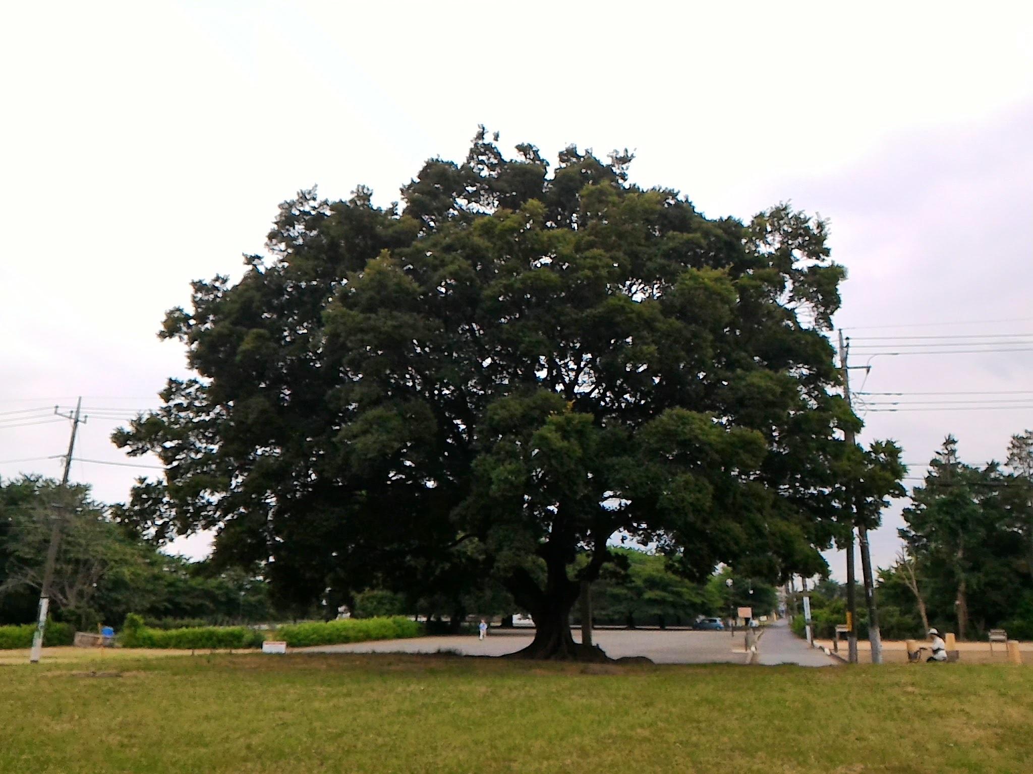 国分寺跡 大きな木