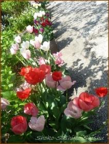 20170511  チューリップ  1    連休の花