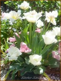 20170511  チューリップ  3    連休の花