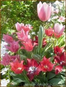 20170511  チューリップ  2    連休の花