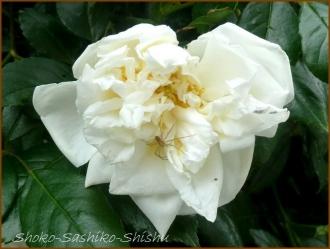 20170518  白い花  2   5月の花