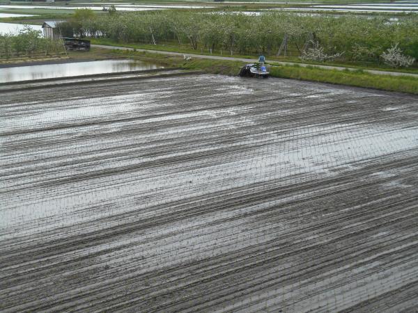 田んぼに苗を植える