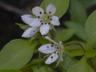 ワチガイソウの花