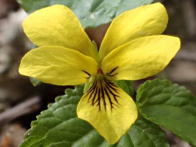オオバキスミレの花