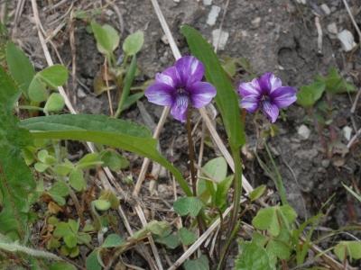 スミレの花の変異