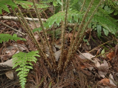 アイカタイノデの葉柄基部鱗片