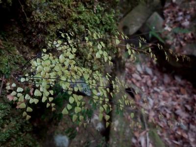 ハコネシダの新葉