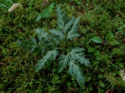 緑色となったアカハナワラビ