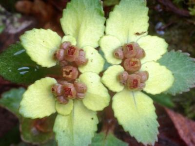 ヒダボタンの花