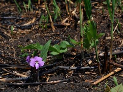 野焼き跡で開花したサクラスミレ