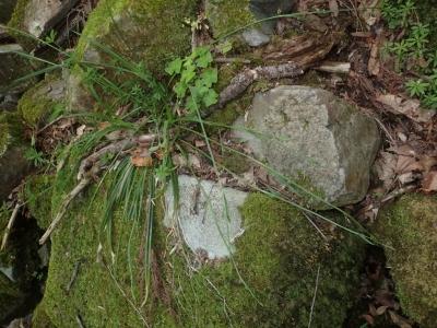 ヒロハノオオタマツリスゲ