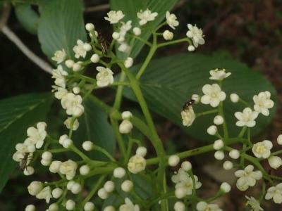 ゴマキの花に集まるハナカミキリ類
