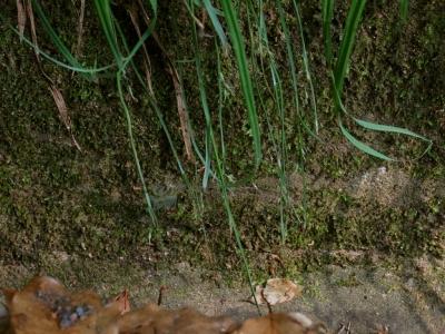 オオタマツリスゲの花序