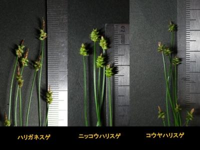 ハリスゲ節3種の小穂