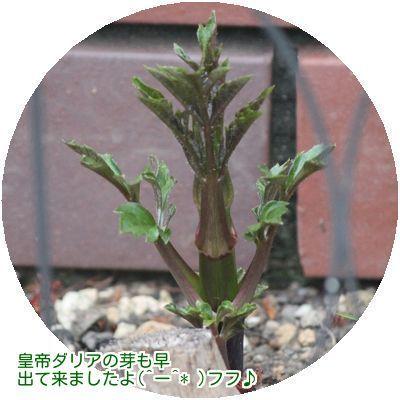⑤皇帝ダリアの芽