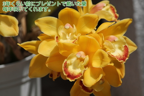 ⑥黄色い蘭