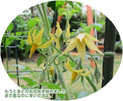 ⑦ミニトマトの花