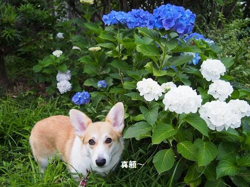真顔と紫陽花