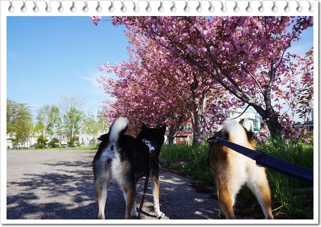 八重桜2017⑥