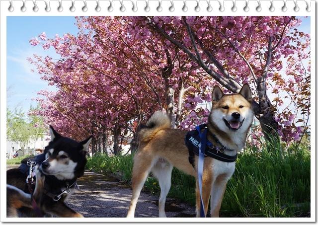 八重桜2017⑨