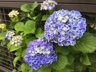家の近くの紫陽花