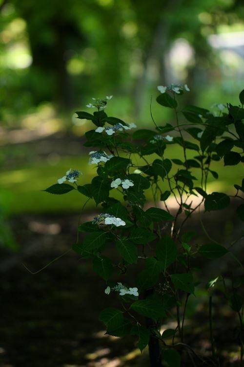 森に咲く紫陽花_R