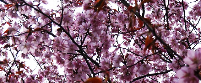 s-桜の木の下で。