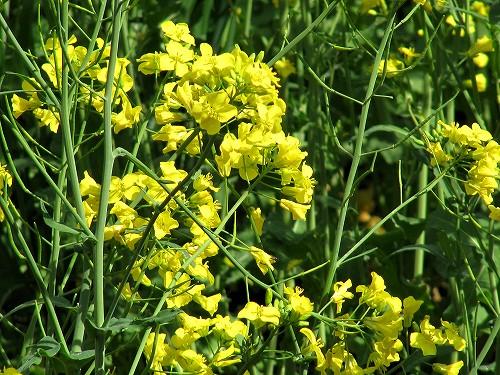 s-菜の花