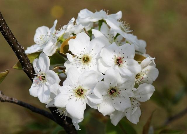 梨の花 豊水