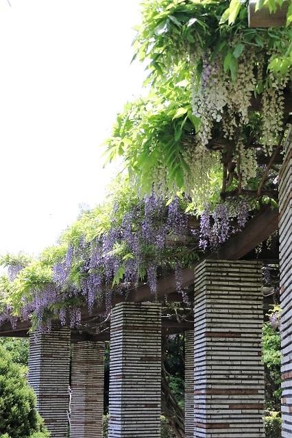 白い藤と紫の藤