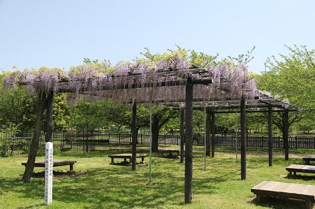 引地川公園の藤棚