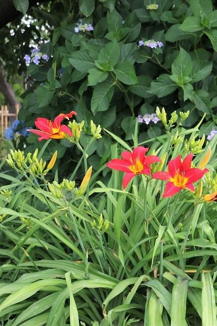 赤花 ヘメロカリス