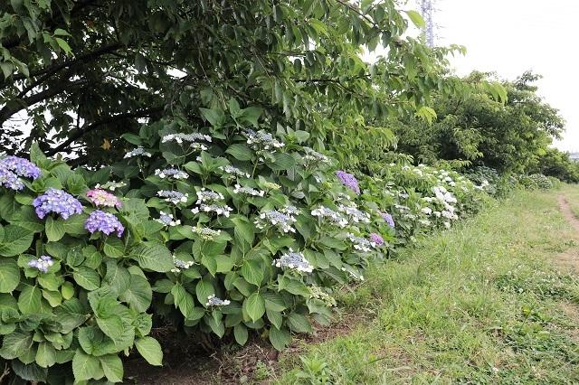 第9回 小出川紫陽花まつり